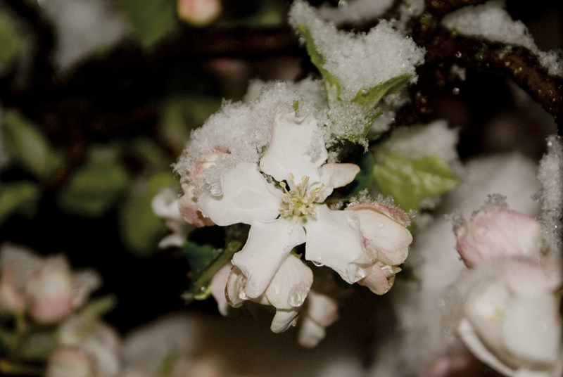 A snow-apple-blossom!